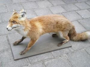 Präparierter Fuchs